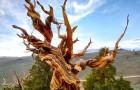 Le plus vieil arbre du monde a 4 850 ans, il s'appelle Mathusalem et vit à plus de 3 000 m d'altitude