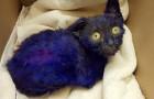 Un gattino blu viene trovato in una scatola, ma la verità è ancora più triste di quella che i medici si aspettavano