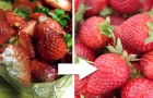 Landwirte zeigen ihren Trick, Erdbeeren wochenlang auf natürliche Weise frisch zu halten