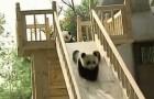 Pequenos Pandas se divierten sobre el tobogan como chicos!