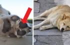 Il colpo di calore è molto pericoloso per i cani! Ecco quali sono i sintomi da tenere sotto controllo
