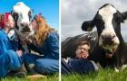 Coccolare le mucche è il trattamento anti-stress del momento: ecco i benefici... e le tariffe