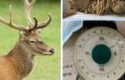 Les vétérinaires trouvent un cerf avec 4 kilos de plastique dans l'estomac : la faute à tous les touristes inciviles