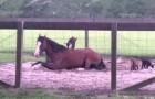 Kleine Ziegen nutzen die Geduld dieses Pferdes mal richtig aus