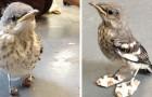 Un uccellino con disabilità riceve delle