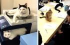 Dit Japanse bedrijf heeft katten geadopteerd om de werkstress van werknemers te verminderen