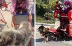 De mode van taxi-honden, een absurde gewoonte die hen dwingt om karren vol mensen mee te slepen
