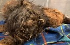 A dog almost buried in its own hair is saved from living on the street and after being sheared, its lovely eyes are revealed!