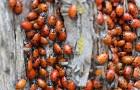Lotta ai pesticidi: liberate a Cuneo migliaia di coccinelle per debellare i parassiti in modo naturale