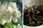 Scopri tutti i segreti del Gelsomino e del suo profumo euforizzante: una pianta dalle mille proprietà benefiche
