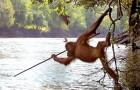 Ze fotograferen een orang-oetang die met een speer vist: de werkelijkheid overtreft science fiction