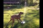 Pas de doute, ce chien apprécie cette nouvelle fontaine
