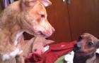 Un pitbull et un basset donnent vie à un chiot... et son apparence rend le web fou !