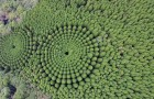 Hoe het komt dat in dit Japanse bos bomen perfecte cirkels vormen