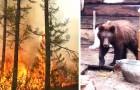 La catastrofe silenziosa dell'Artico: gli animali disperati si avvicinano agli uomini per sfuggire al fuoco