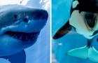 Uno studio rivela che i pericolosi squali bianchi hanno molta PAURA delle orche marine