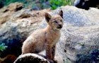Na 100 jaar werd de eerste Euraziatische lynx welp in de Pyreneeën geboren