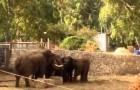 Elefanti proteggono i loro piccoli al suono delle sirene di allarme per incursioni aeree in Israele