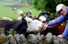 A história da vaca e do mestre: uma história para ajudar a enfrentar os desafios da vida
