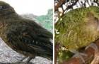 In Nieuw-Zeeland is een nieuw soort gigantische prehistorische papegaai ontdekt.