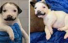 Ecco a voi Salvador Dolly: la bellissima cucciola con i baffi alla Dalì che ha conquistato migliaia di persone