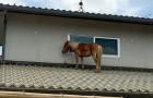 Cette jument miniature a réussi à se sauver de l'inondation en grimpant sur le toit d'une maison