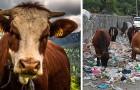 Oltre 60mila mucche sono morte per aver mangiato spazzatura: un altro danno alla natura causato dall'uomo