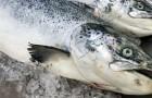 In Alaska gibt es ein Massaker an Lachs: Hier ist ein weiterer Effekt der globalen Erwärmung