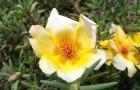 Les mille bienfaits du pourpier, une plante herbacée amie de notre santé