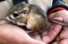 Sembrava estinto, ma questo esemplare di topo-canguro è ricomparso dopo 30 anni