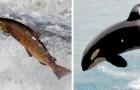Lachse und Schwertwale, die aufgrund des Wasserplans der US-Regierung vom Aussterben bedroht sind