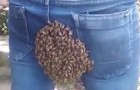 A bee colony settles on the seat bottom of this young man's jeans!