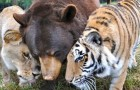 A bear, a tiger, and a lion - These splendid photos depict the story of a truly special friendship!
