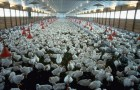 In Italia il 50% degli antibiotici è impiegato negli allevamenti: i rischi per la salute sono enormi