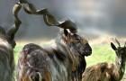 Ein amerikanischer Jäger zahlte 100.000 Dollar, um eine gefährdete wilde Ziege abzuschießen