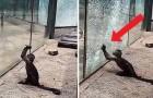 Um macaquinho tenta fugir do zoológico quebrando o vidro da sua jaula: a sua luta por liberdade comove a todos