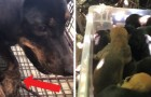 A little dog with a fractured paw drags herself to an animal shelter to save her 13 puppies!