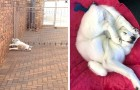 When sleep gets the upper hand anything can happen. See 20 dogs that have fallen asleep in the strangest positions