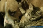 This is the only fight between a cat and a pit bull that we want to see