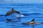 Video  Delfini