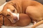 En man vill adoptera en pitbull från ett hundstall, men den vägrar att överge sin bästa vän