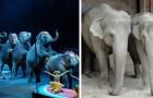 Dänemark verbietet die Verwendung von Tieren in Zirkussen und kauft die letzten 4 Elefanten, die noch übrig sind, um sie zu befreien