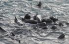 De laatste momenten van een dolfijnenfamilie: de moeder pakt hen stevig vast voordat ze worden gevangen