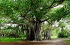 Thimmamma Marrimanu, der größte Baum der Welt, steht in Indien