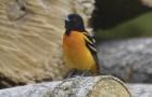 Dal 1970, in Nord America sono scomparsi quasi 3 miliardi di uccelli a causa dei pesticidi