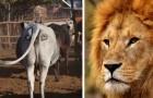 Onderzoekers proberen de levens van leeuwen te redden door ogen te tekenen op de achterkant van koeien