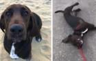 Deze hond gooit zichzelf op de grond en doet alsof hij flauwvalt, telkens wanneer zijn baasje hem na een wandeling naar huis brengt