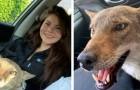 Une femme sauve un chien blessé dans la rue, mais les vétérinaires lui disent que c'est en fait un coyote