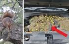 Una coppia trova più di 200 noci nascoste dagli scoiattoli nel cofano del proprio SUV