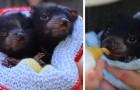 In Australia sono nati 8 esemplari di diavoli della Tasmania, animali a rischio di estinzione